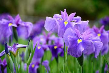 Foto op Plexiglas Iris 花菖蒲