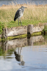 Wall Mural - Heron standing on the bank of a river showing reflection in the river.