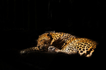A close-up photo of a leopard asleep in a tree