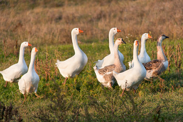 flock of geese grazing on the grass in the autumn