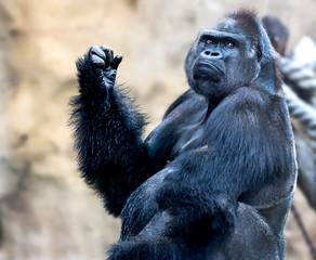 Gorilla King Kong stares at you