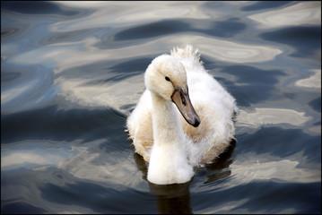 Photo Blinds Swan baby zwaan zwemt alleen in het water