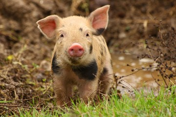 Cute little piglet