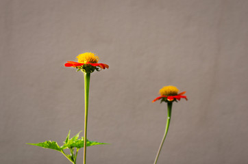 Mexican Sunflower, Tithonia rotundifolia Gray, Red Blooming Flower with the Wall
