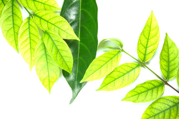 Green leaves and brown leaves on a white background