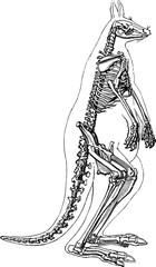 Vintage image kangaroo skeleton