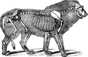 Vintage image lion skeleton