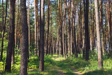 pine forest with footpath