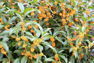Osmanthus fragrans flower tree