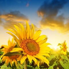 Beautiful sunflower on the field at sunset.