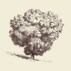 Lone Oak tree.