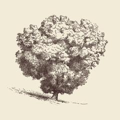 Lone Oak tree. Hand drawn vector illustration in sepia color.