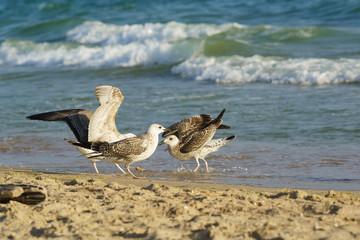 Young gulls (lat. Larus argentatus) on sandy coast