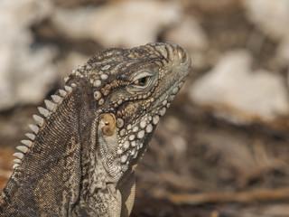Closeup of a iguana