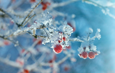Red berries of viburnum with hoarfrost on the branches . closeup