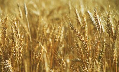 Ears Of Golden Wheat