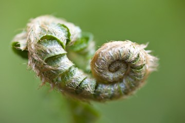 A New Fern Branch In Spring On Mount Hood In The Oregon Cascades; Oregon, Usa