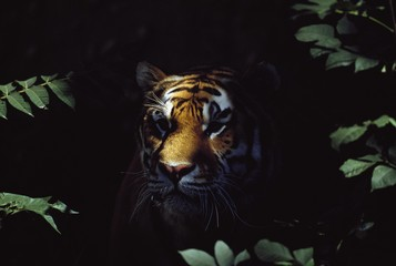Siberian Tiger (Panthera Tigris Altaica) Peers From Forest Shadows; Captive, Native Toamur-Ussuri Region Of Russia