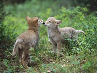 Coyote Puppies (Canis Latrans) Greeting; Montana, Usa