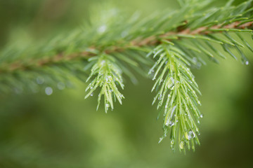 Water drops on the branch of a pine tree;Lake of the woods ontario canada