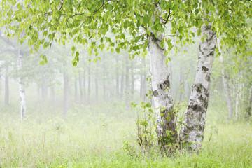 Birch trees in fog;Thunder bay ontario canada