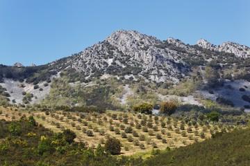 Olive Groves; Sierra De Las Villuercas, Caceres Province, Spain