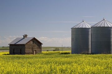 Old Wooden Barn And Metal Grain Bins In A Field Of Flowering Canola; Crossfield, Alberta, Canada