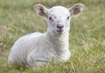 Northumberland, England; A Lamb