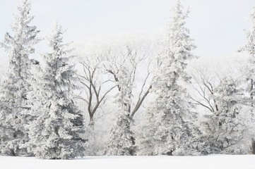 Winnipeg, Manitoba, Canada; Snow Covered Trees