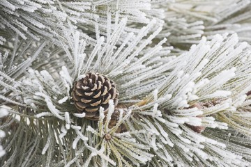 Calgary, Alberta, Canada; Frost Covered Pine Needles And A Pine Cone