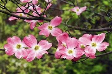 Pink Flowers On A Dogwood Tree