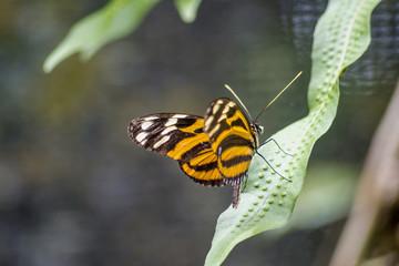 lycorea ilione albescens mariposa