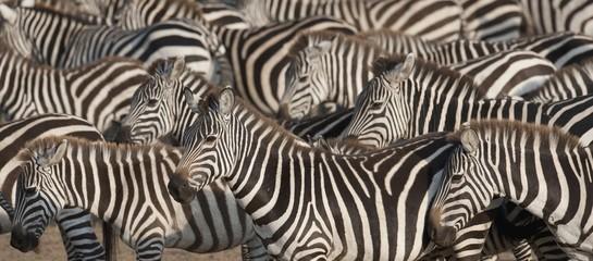 Herd of zebras, Kenya