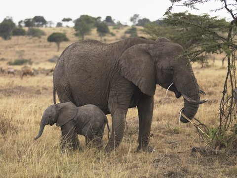 Mother and baby elephant, Masai Mara, Keyna