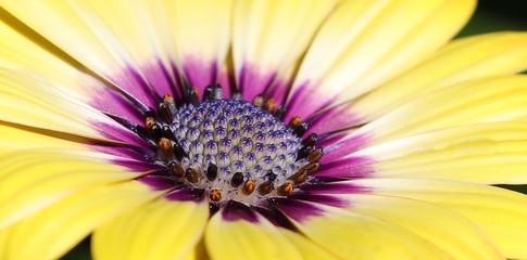 yellow daisy flower daisies