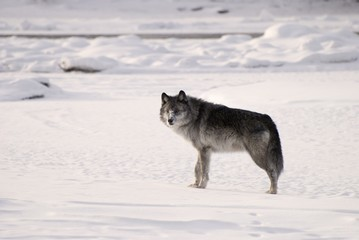 Alberta, Canada; Gray Wolf (Canis Lupus) In The Snow
