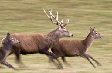 Deer Running (Cervidae)