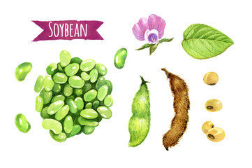Soybeans, watercolor illustration