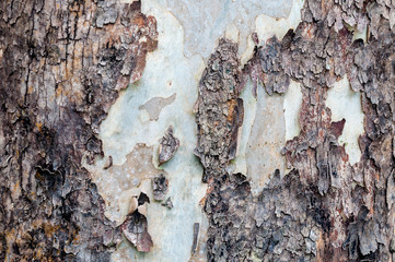 Texture of bark in the natural park,tree texture abstract for background