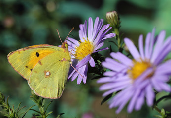 A butterfly that has beautiful yellow wings sitting on purple flowers asters