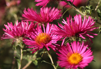 Pink aster in the flowerbed