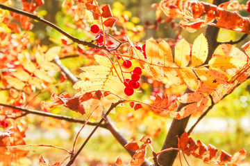 Rowan branch with autumn leaves and berries in the backlight