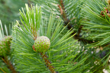 Green line Christmas trees, pine tree with young cones