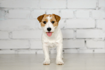 Cute Jack Russel with tongue out