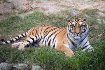 Printed roller blinds Tiger Portrait of a tiger.