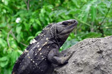 Iguana Closeup/Close up of Iguana Head