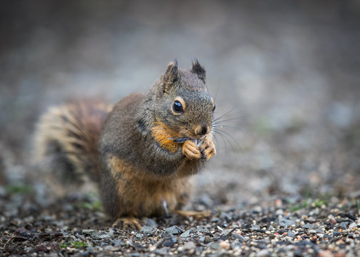Western Gray squirrel eating sunflower seed.