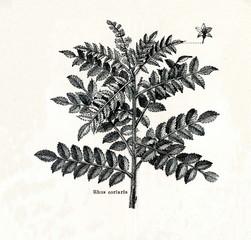Sicilian sumac (Rhus coriaria) (from Meyers Lexikon, 1895, 7/378/379)