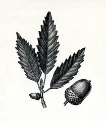 Chestnut oak (Quercus montana) (from Meyers Lexikon, 1895, 7/378/379)