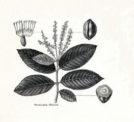 Black myrobalan (Terminalia chebula) (from Meyers Lexikon, 1895, 7/378/379)